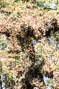 Millions of monarchs clinging to the branches of a pine tree