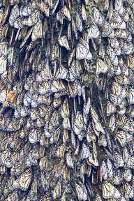 Wings closed and clinging to a tree trunk, from a distance these monarchs appear to lichen.